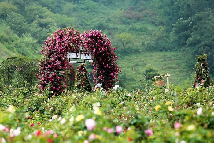 Lên Sapa ghé thăm thung lũng hoa hồng lớn nhất Việt Nam-2