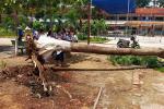 Cây phượng đổ trong sân trường tiểu học ở Bình Dương