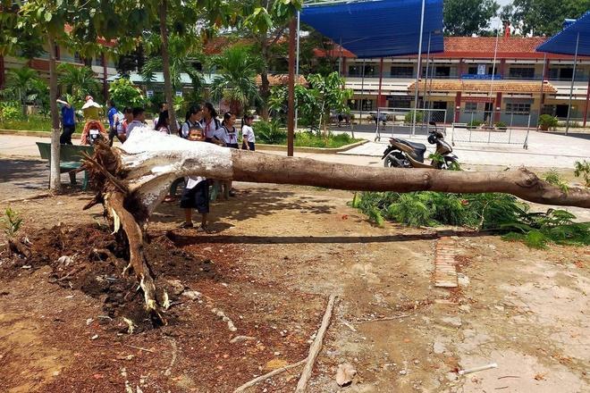 Cây phượng đổ trong sân trường tiểu học ở Bình Dương-1