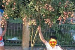 Thanh niên trộm vải 'full cành' như 'bứng cả nửa cây' gây phẫn nộ
