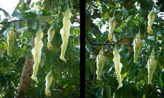 Loài cây có quả hệt cô gái khỏa thân, chỉ rung lên khi nam giới chạm: Thực hư thế nào?-2