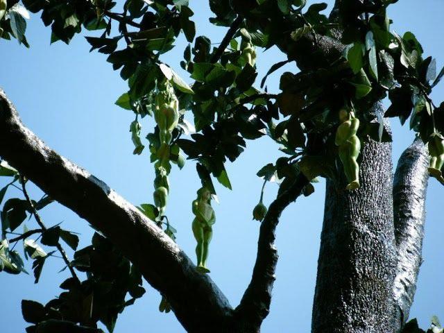 Loài cây có quả hệt cô gái khỏa thân, chỉ rung lên khi nam giới chạm: Thực hư thế nào?-3
