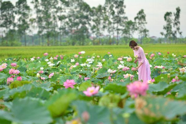 Đã mắt' với 5 điểm ngắm sen tuyệt đẹp quanh Hà Nội, nhất định phải ghé đến