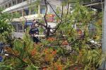 Mưa lớn kèm gió mạnh khiến phượng lại bật gốc, 3 nữ sinh ở Đồng Nai bị đè xây xát