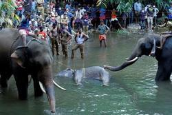 Bắt giữ nghi phạm vụ voi mẹ ăn phải dứa nhồi thuốc nổ