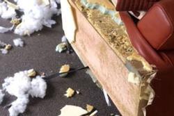 Ghế sofa hơn 80 triệu bị xé tanh bành, người đàn ông hú hồn khi biết thủ phạm