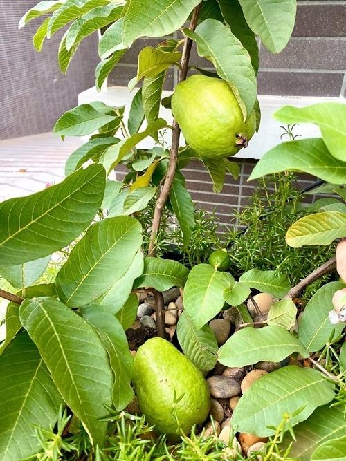 Nhà vườn rộng rãi tràn ngập cây trái của sao Việt-14