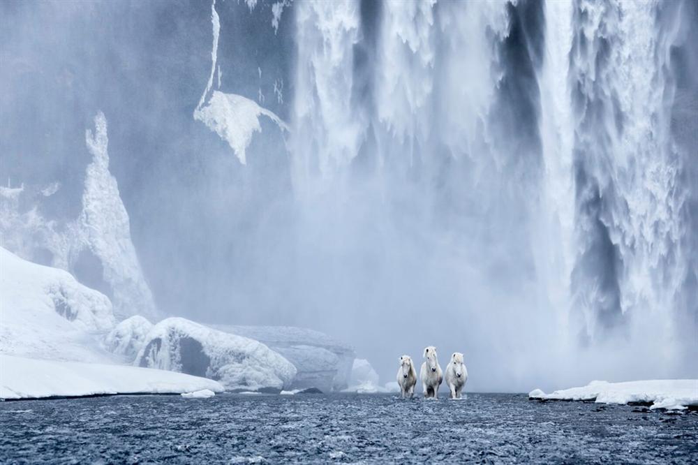 Loài ngựa thần thoại sống tách biệt 1.000 năm trên băng đảo-1