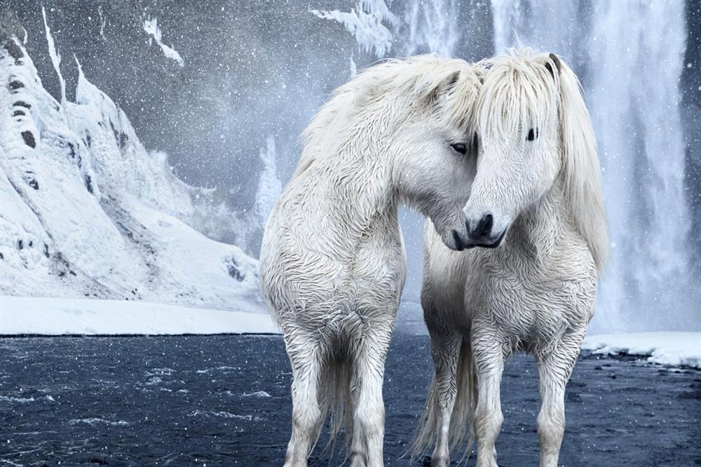 Loài ngựa thần thoại sống tách biệt 1.000 năm trên băng đảo-2