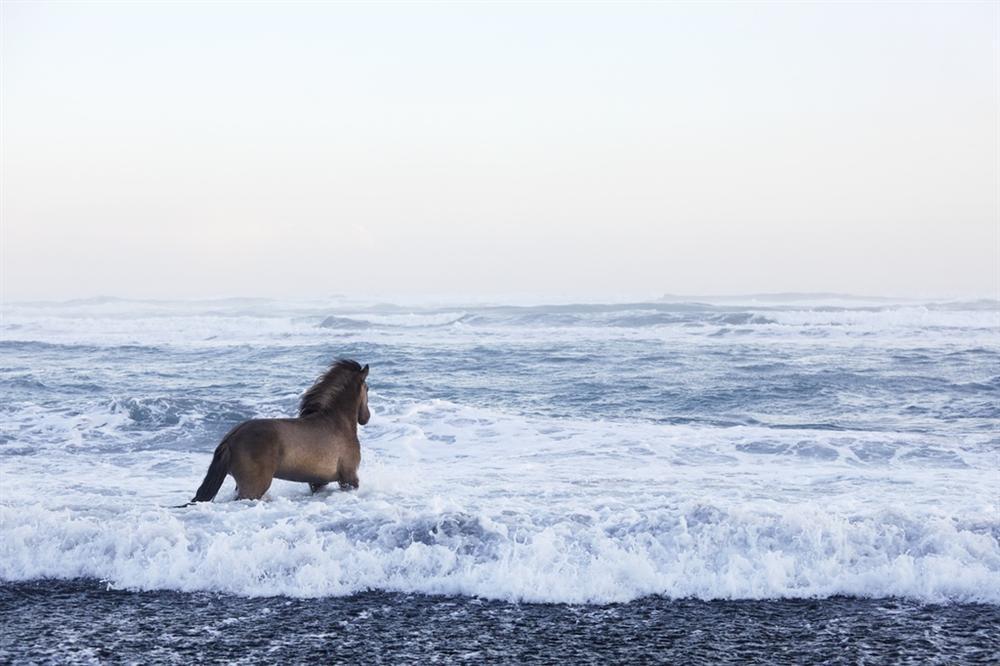 Loài ngựa thần thoại sống tách biệt 1.000 năm trên băng đảo-3