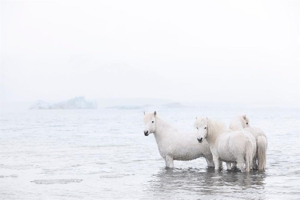 Loài ngựa thần thoại sống tách biệt 1.000 năm trên băng đảo-5