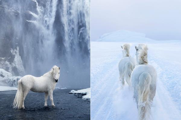 Loài ngựa thần thoại sống tách biệt 1.000 năm trên băng đảo-4