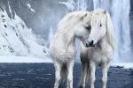 Loài ngựa thần thoại sống tách biệt 1.000 năm trên băng đảo