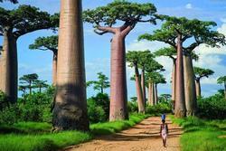 Đại lộ baobab nghìn năm tuổi tráng lệ nhất châu Phi