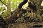 Truyền thuyết về những sợi xích kỳ lạ bao quanh cây sồi cổ thụ ở Anh