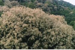Mãn nhãn ngắm hoa dẻ gai đua nhau khoe sắc tuyệt đẹp trên sườn núi