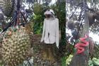 Sợ bị trộm sầu riêng, chủ vườn có cách bảo vệ khiến ai nấy đều kinh hãi