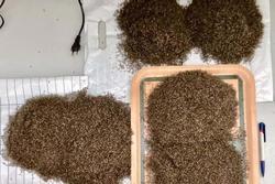 Rùng mình hình ảnh tưởng hạt muồng muồng nhưng là xác muỗi được chất thành đống