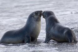 Dùng gậy đánh hải cẩu bất tỉnh để chụp hình chung, nhóm người tắm biển bị chỉ trích dữ dội