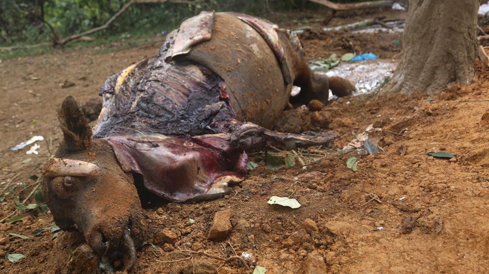 Người dân Ba Vì rụng rời nhìn đàn trâu chết thảm bất thường-1
