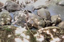 Người dân Ba Vì rụng rời nhìn đàn trâu chết thảm bất thường