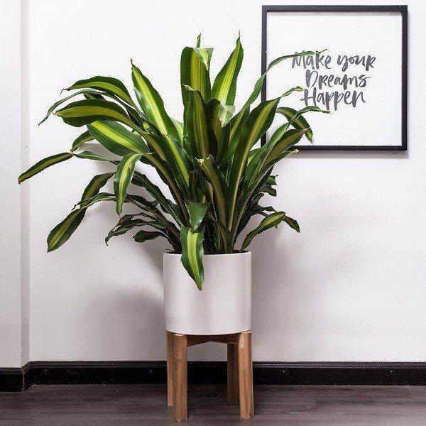 7 loại cây cảnh trồng trước cửa nhà giúp tài vận lên cao, gia chủ yên tâm hưởng phúc-5