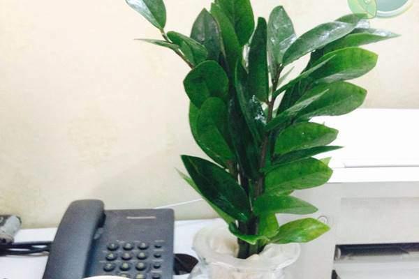 Loại cây phong thủy chỉ cần có nước là sống, dân văn phòng chưa có phải mua ngay-4