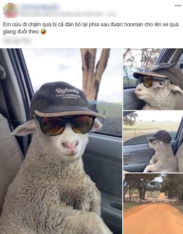 Cừu con lạc đàn được tài xế tốt bụng cho đi nhờ, còn cho mượn kính râm cực ngầu để ngắm mây trời!-1