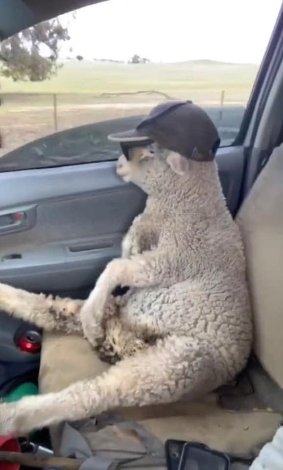 Cừu con lạc đàn được tài xế tốt bụng cho đi nhờ, còn cho mượn kính râm cực ngầu để ngắm mây trời!-2