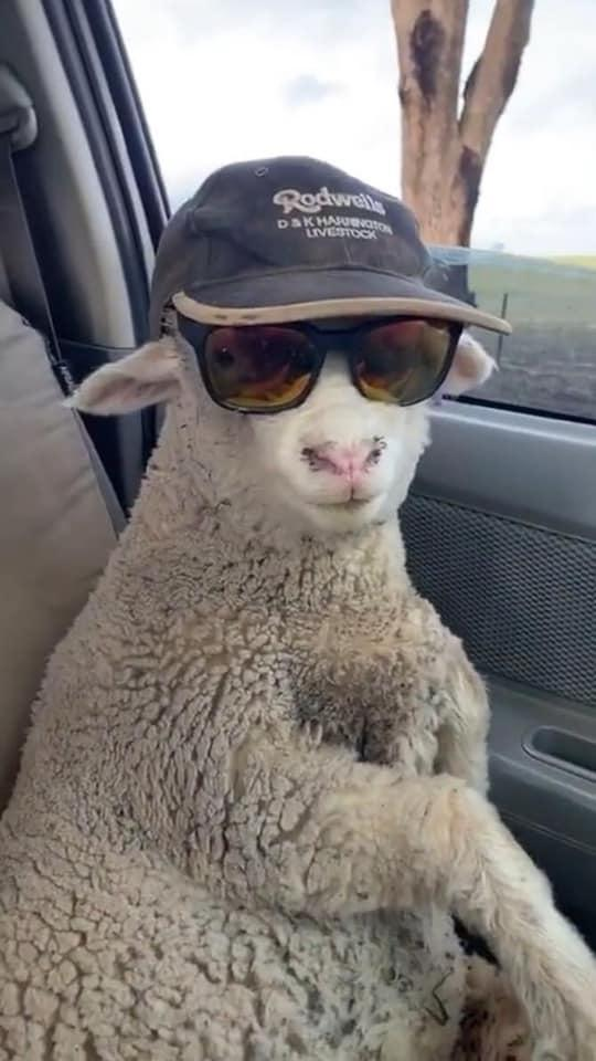 Cừu con lạc đàn được tài xế tốt bụng cho đi nhờ, còn cho mượn kính râm cực ngầu để ngắm mây trời!-4