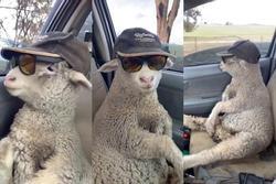 Cừu con lạc đàn được tài xế tốt bụng cho đi nhờ, còn cho mượn kính râm 'cực ngầu' để ngắm mây trời!