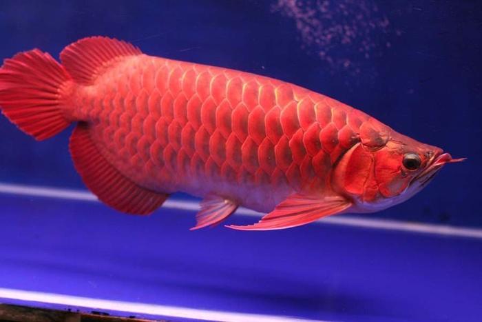 Muốn tiền bạc ào ạt vào nhà, hãy nuôi cá rồng đỏ-1