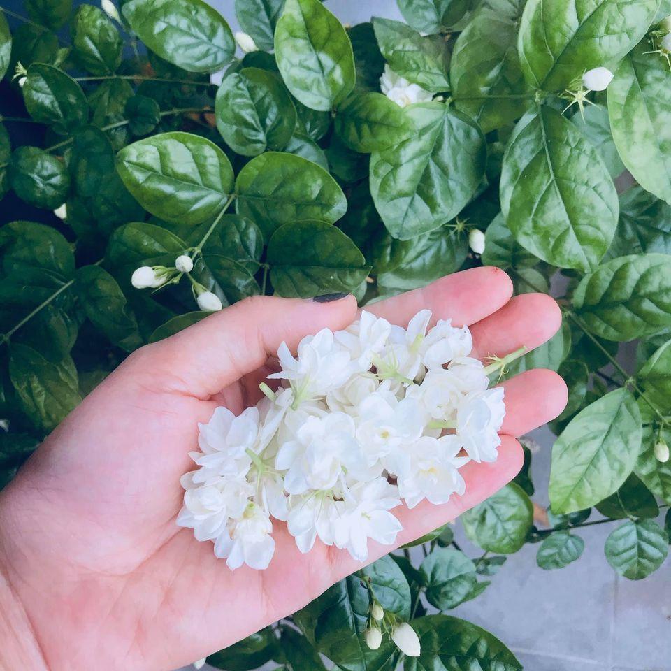 Chỉ một cây hoa nhài nhỏ, mẹ đảm ra tay biến tấu thành nhiều món ngon khó khước từ-1