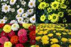 Loài hoa cúc thích nhất tiết lộ bạn là người bình thường hay có bản lĩnh