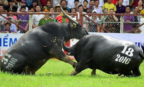 Đồ Sơn dừng lễ hội chọi trâu truyền thống vì dịch Covid-19-1