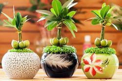 Cây tài lộc có ý nghĩa gì và cách trồng để mang lại tài lộc