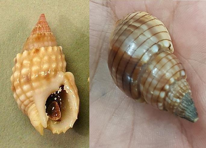 Xuất hiện 2 loại ốc lạ, 1 người tử vong - 2 người cấp cứu sau khi ăn tại Khánh Hòa-2
