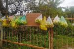 Ổi chín cây treo trước cổng mời mọi người ăn 'miễn phí' ở Đà Lạt khiến dân tình xao xuyến