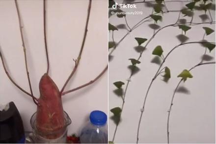 Cô nàng 'dở khóc dở cười' nhìn khoai lang bonsai trồng trong nhà hóa giàn 'cây cao bóng cả'