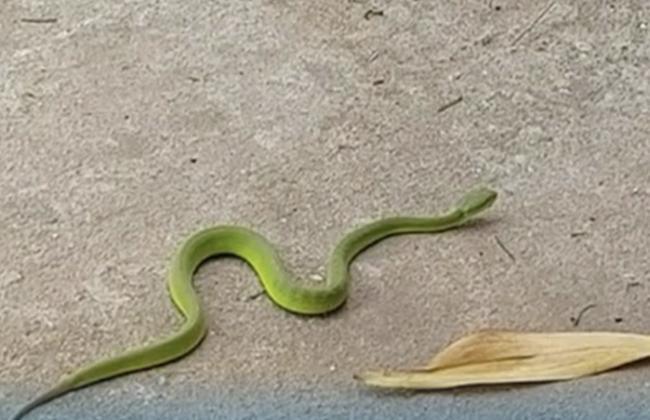 Ra vườn hái rau, người đàn ông bị rắn lục đuôi đỏ cực độc cắn suýt chết-1