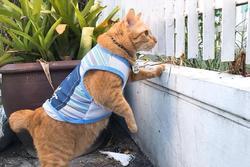 Mèo ú chuyên nghển cổ hóng hớt, đã thế còn lân la gạ gẫm mèo hàng xóm đi 'nhún nhảy'