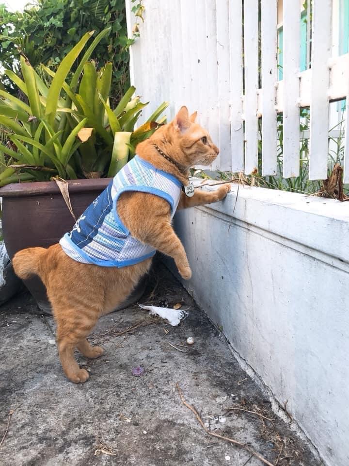 Mèo ú chuyên nghển cổ hóng hớt, đã thế còn lân la gạ gẫm mèo hàng xóm đi nhún nhảy-2