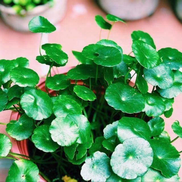 3 loài hoa thịnh vượng, điềm lành và sung túc trồng trong nhà không phải ai cũng biết-2