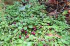 Lạ đời: Ngũ loại rau dại độc lạ, là đặc sản Việt Nam được săn lùng