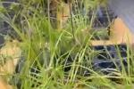 Loại cỏ ở Việt Nam thường cắt về cho bò ăn nhưng lại đắt giá trong siêu thị tại Nhật Bản