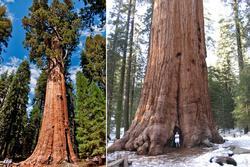 Rừng cây cổ thụ cao nhất thế giới