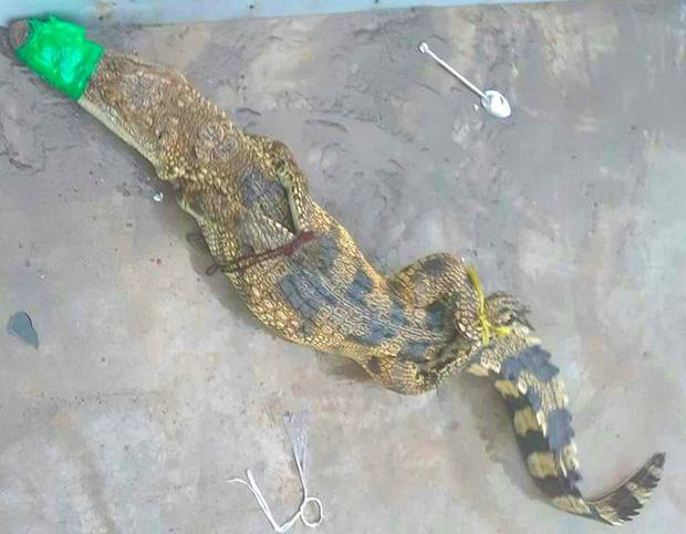 Cá sấu sổng chuồng đột nhập bãi xe miền Tây khiến hành khách kinh hãi-1