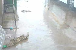 Cá sấu sổng chuồng 'đột nhập' bãi xe miền Tây khiến hành khách kinh hãi