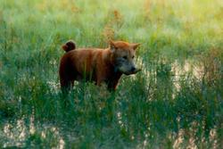 Sau nhiều lùm xùm, chó Shiba vẫn được chọn đóng 'Cậu Vàng'