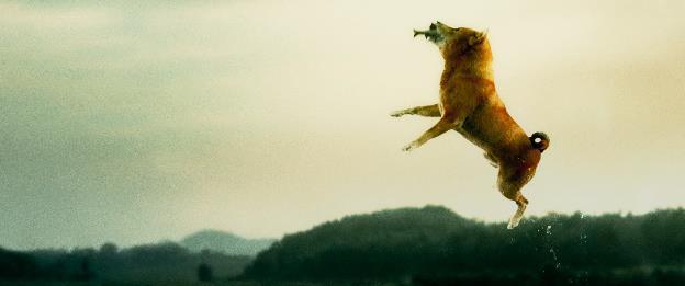 Sau nhiều lùm xùm, chó Shiba vẫn được chọn đóng Cậu Vàng-3